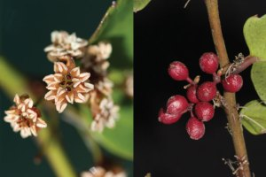 Amborella flowers and drupes (fleshy indehiscent stone-fruits),