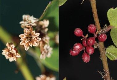 Amborella flowers and drupes (fleshy indehiscent stone-fruits),