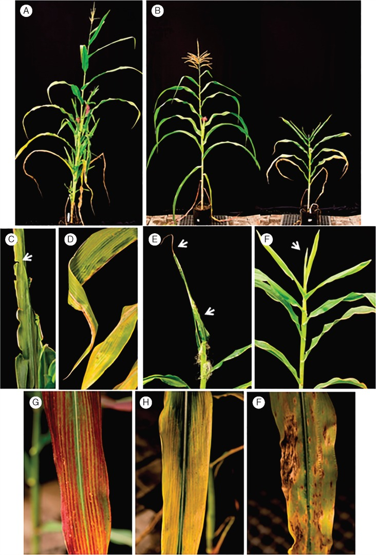Maize bushy stunt phytoplasma (MBSP) induced diverse morphological changes in maize plants.