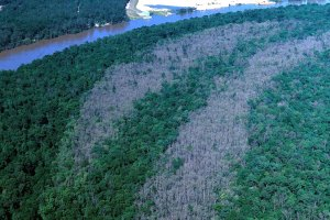 Forest strips defoliated by an insect pest
