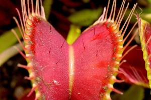 The trap of a Venus fly trap, showing trigger hairs.