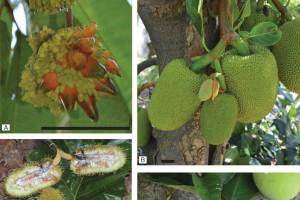 Representative species from Artocarpus subgenera.