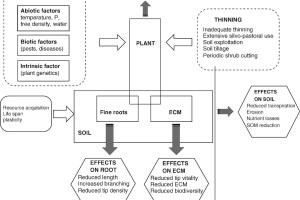 Flow chart relating effects of decline and silvicultural treatment to above- and below-ground responses in Quercus robur L., and their relationship with forest ecosystem.