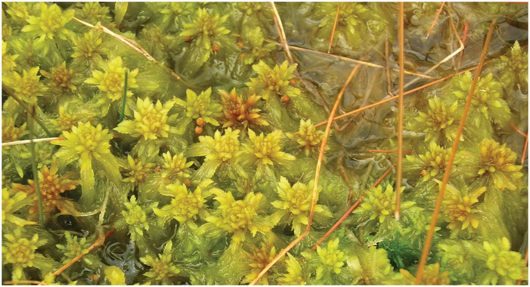 The peat moss Sphagnum × falcatulum on South Island, New Zealand, with both allo-allo-triploid (3n) gametophytes and young, putatively allo-allo-hexaploid (6n) sporophytes (small brown spheres on plants near the centre of the picture) being present.