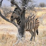 Tree (and zebra)
