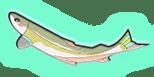 画像:相模川の鮎