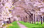 奈良の桜開花宣言の基準となる標本木がある奈良女子大学付属中等教育学校