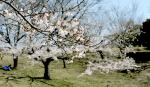 福岡県の桜の開花宣言や見頃となる満開宣言の時期はいつ?標本木の場所はどこ?アクセス方法を紹介!