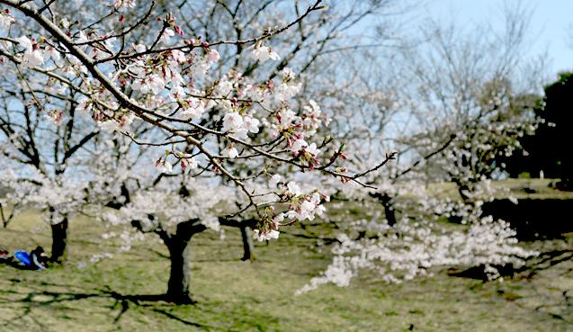 福岡県の桜の開花予想や見頃となる満開予想の時期はいつ?標本木の場所はどこ?アクセス方法を紹介!