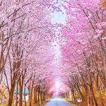 ヤマ桜!青森・岩木山 「世界一の桜並木」総延長20Kmの絶景コラボ!