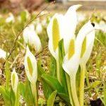 青森に「春告げるミズバショウ」青森市で見ごろとなっている。桜も満開近し in AOMORI
