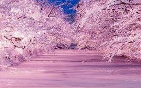 HIROSAKI「冬に咲くさくら」ライトアップ!