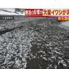 青森・北海道「イワシの大量漂着」相次ぐ 地元漁師「はじめて」なぜ!
