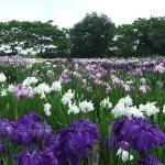青森県十和田市の手づくり村鯉艸郷で6月22日(土)から7月15日(月)まで、「花菖蒲まつり 2019」が開催される。