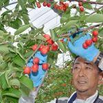 青森県産サクランボ新品種「ジュノハート」「ハートビート」収穫始まる
