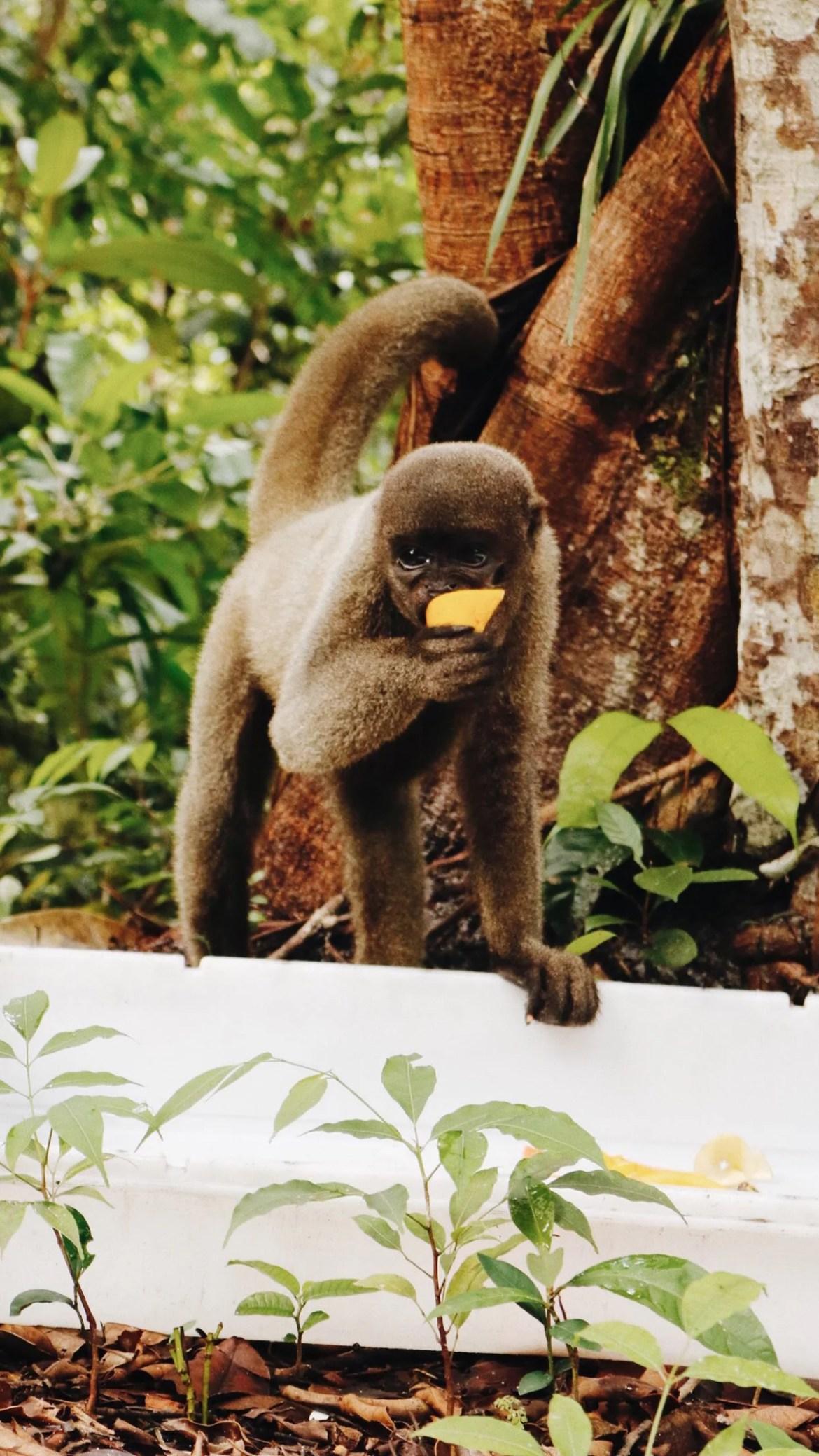 Macaca se alimentando de frutas frescas