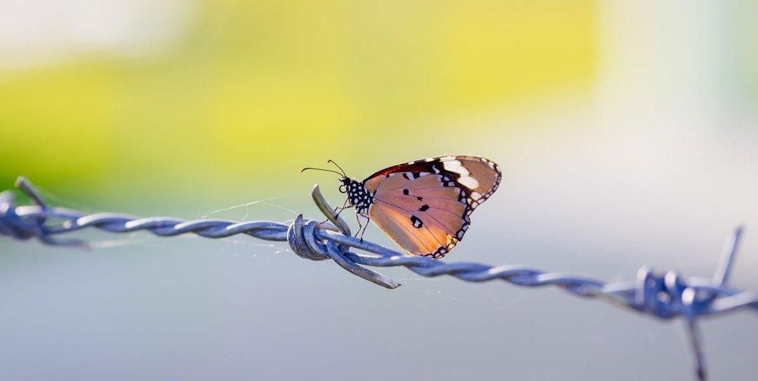 aopm-butterfly