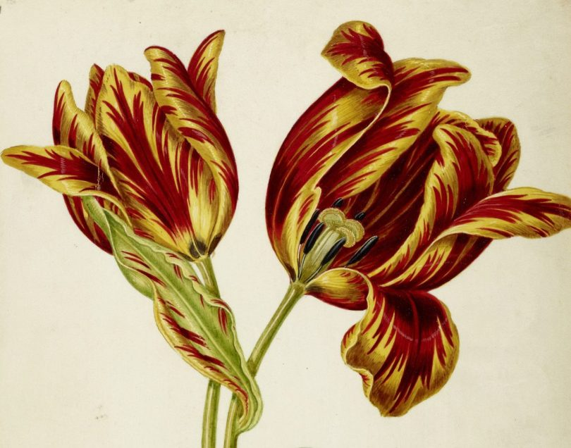 Maria Sibylla Merian, Johann Bartholomaeus Braun (ca. 1626–1684) und Umkreis Tulpe, gelb-rot geflammt, drittes Viertel, Art On Screen - News - [AOS] Magazine