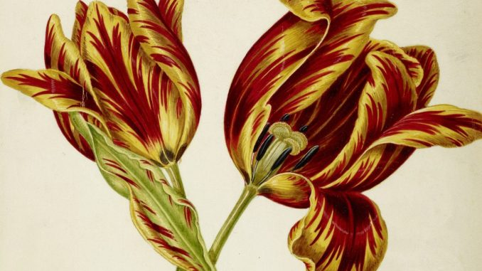 Maria Sibylla Merian, Johann Bartholomaeus Braun (ca. 1626–1684) und Umkreis Tulpe, gelb-rot geflammt, drittes Viertel, Art On Screen - News - [AOS] Magazine