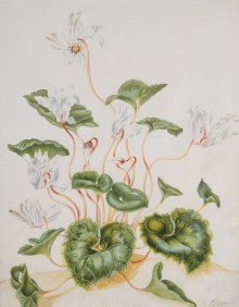 Maria Sibylla Merian, Maria Sibylla Merian (1647–1717) (und Töchter?), Weiße Cyclamen, Art On Screen - News - [AOS] Magazine