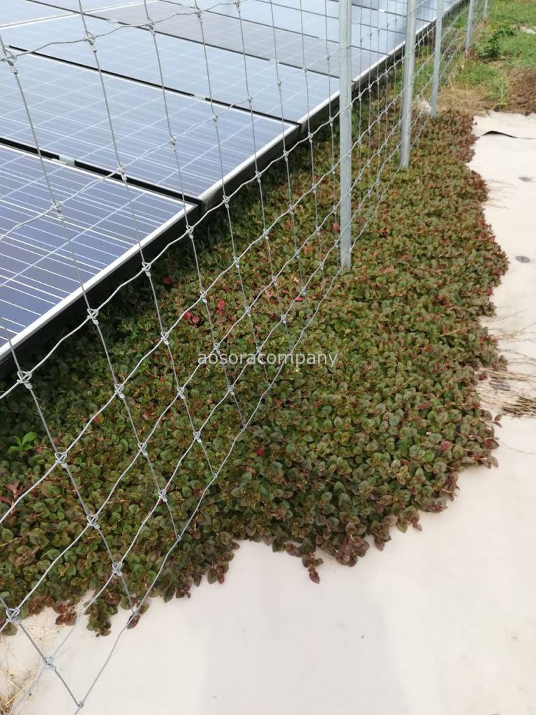 太陽光発電所に自生したヒメツルソバ。防草シートの上まで浸食しています。