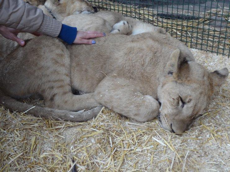 Quem tem coragem de entrar na jaula da leoa?