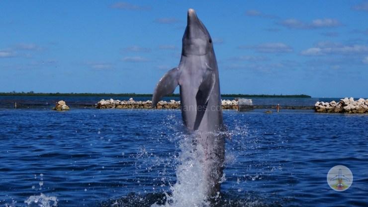 porque-fazer-um-cruzeiro-no-Caribe-golfinhos Porque fazer um cruzeiro no Caribe? (10 motivos e 1 bonus!)