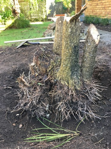 Cabbage tree mid-destruction. We spent four hours on this and popped a spade in the process. It took a stump grinder to get it out