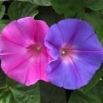 朝顔は1つの株でいろんな色が咲く事や色を変える事はあるの!?