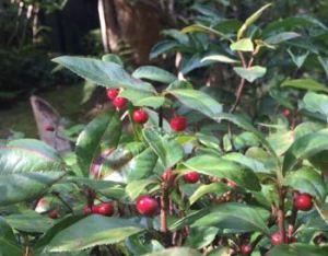 ヤブコウジの赤い実