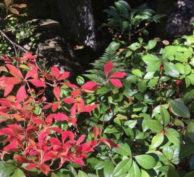 ドウダンツツジの紅葉とヤブコウジの赤い実