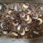 カブトムシの幼虫は4月のマット交換が重要です