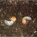 カブトムシの幼虫が2齢から3齢へと脱皮する瞬間!