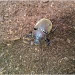 カブトムシを繁殖させよう!交尾から産卵まで