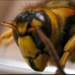 100人以上の人間に襲い掛かるキイロスズメバチの恐怖