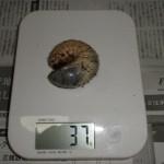 カブトムシの幼虫、2月の大きさは?体重測定その⑤