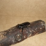 ヒラタクワガタのメスが蛹室から出てきました!