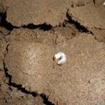 パラワンオオヒラタクワガタの産卵セット割り出し その②
