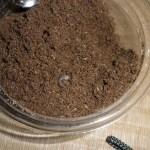 ノコギリクワガタの幼虫飼育はマットより菌糸ビンがおすすめ?