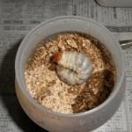 オオクワガタの幼虫、菌糸ビンの交換 気になる体重は?