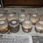 スマトラオオヒラタの幼虫、菌糸ビン飼育とマット飼育の経過②