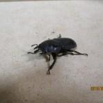 スマトラオオヒラタの幼虫、菌糸ビン飼育とマット飼育の経過⑥