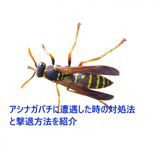 アシナガバチに遭遇した時の対処法と撃退方法を紹介