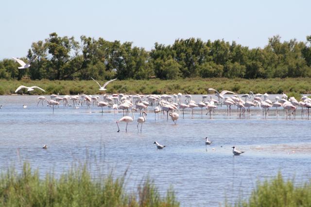 13 Wonderful Adventures In The Wild Camargue - Flamingos