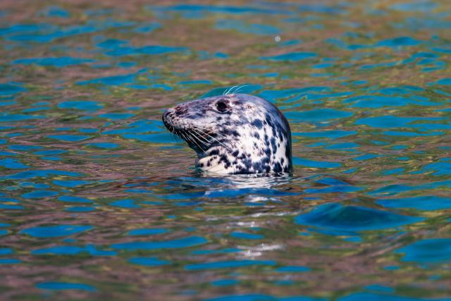 Undiscovered Places In England: Grey Seal off Lundy Island