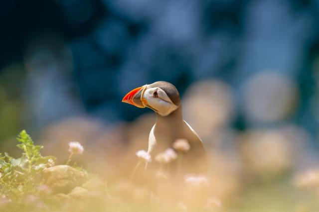Puffin at Stackpole Head, Pembrokeshire, Wales
