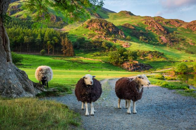 Autumn in England - Sheep in the Lake District