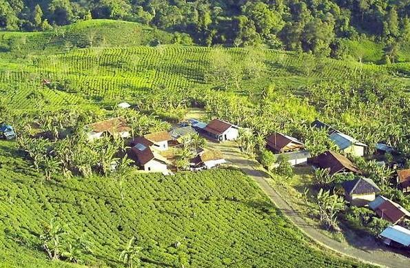 Erwan: Bongkar 40 Bangli di Perkebunan Teh!