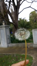 Fly dandelion