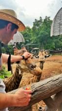 Girafa ciumenta
